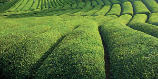 Çay Sektörü 40 Bin Kişiye İş Kapısı Oluyor